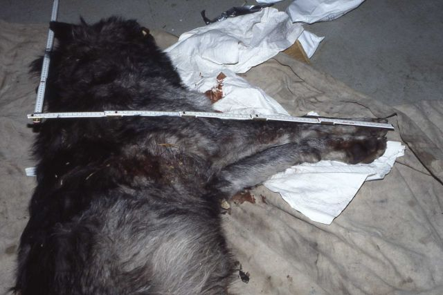 Height at shoulder measurement & bullet wound of a wolf shot in the Bridger Teton Wilderness Picture