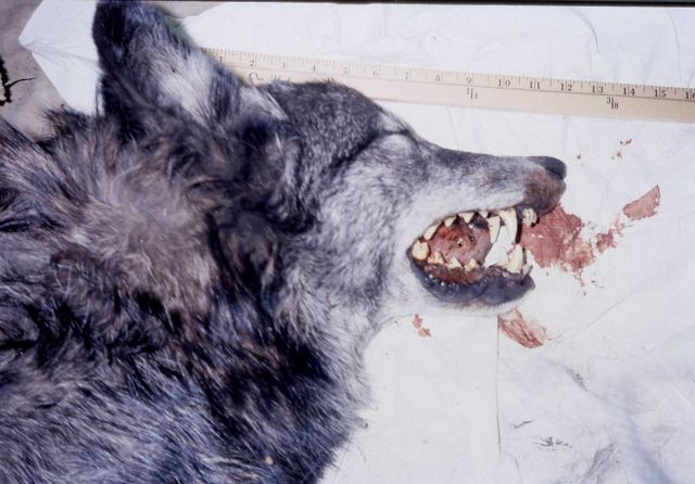 View of side of head with teeth showing of a wolf in the Bridger Teton Wilderness Picture