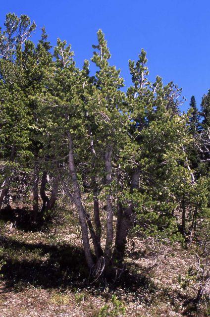 Whitebark pine (Pinus albicaulis) on Avalanche Peak trail Picture