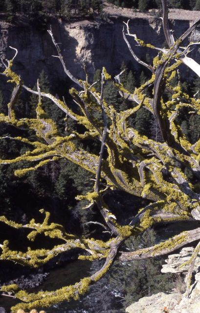 Lichen on uprooted tree in Black Canyon Picture