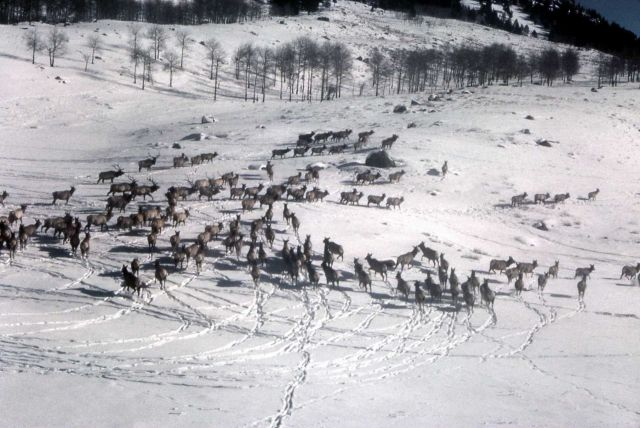 Elk driven by helicopter Picture