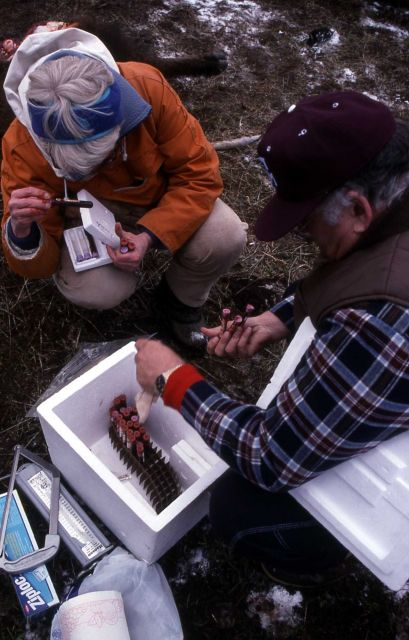 Mary Meagher checking bison blood samples Picture