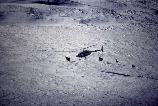 Tracking elk from helicopter Picture
