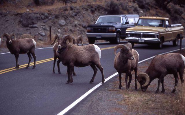 Bighorn sheep & traffic in Gardner Canyon Picture