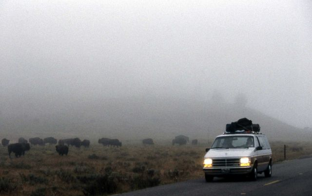 Car with lights on in foggy Hayden Valley, with bison next to road Picture