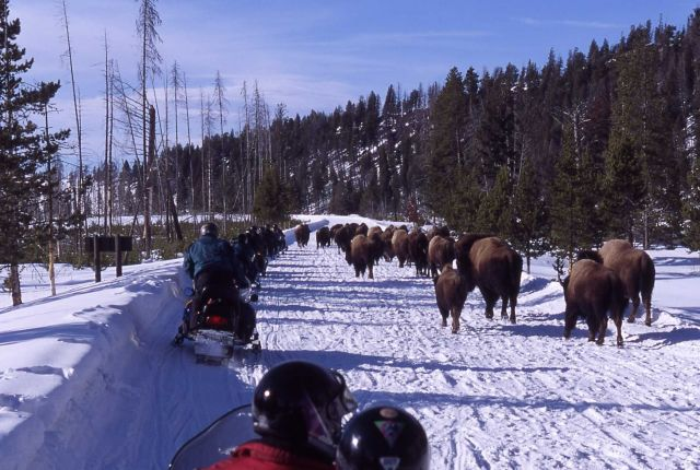 Snowmobiles passing bison in the winter on West entrance road on Presidents Day weekend Picture