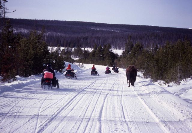 Snowmobiles on road with bison at Elk Park in the winter Picture
