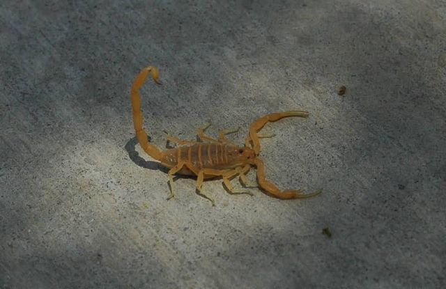 Arizona Bark Scorpion Picture