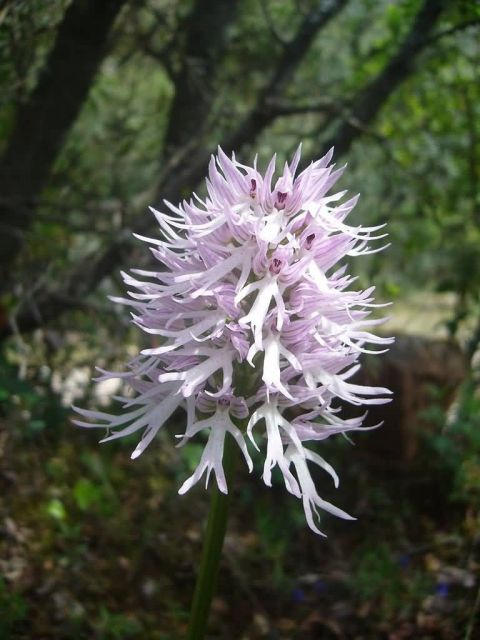 Naked Man Orchid Picture