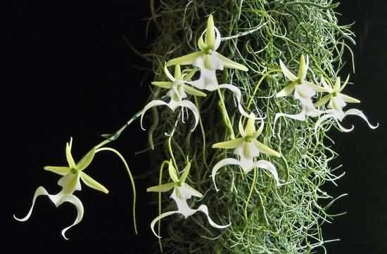 Ghost Orchid Picture