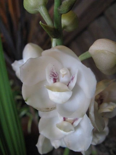 Dove Orchid Picture