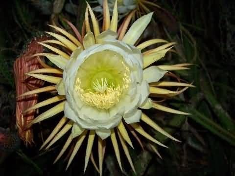 Night-Blooming Cereus Picture