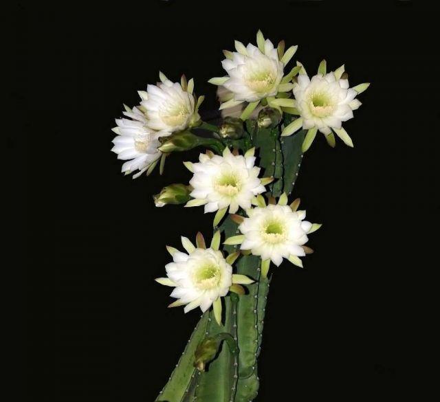 Night-Blooming Cereus Picture