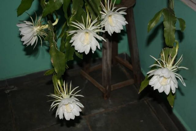 Night Blooming Cereus Photo Pictures Images On