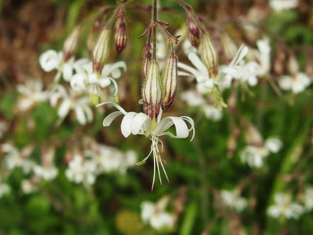 Silene Nutans Picture