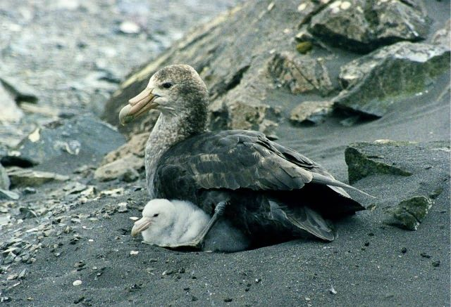 Antarctic Giant Petrel Picture