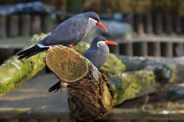 Inca Tern Picture