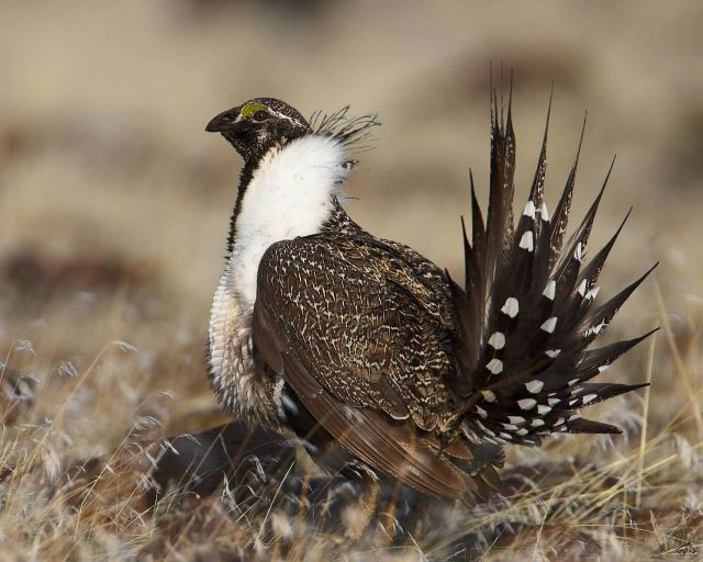 The Sage Grouse Picture