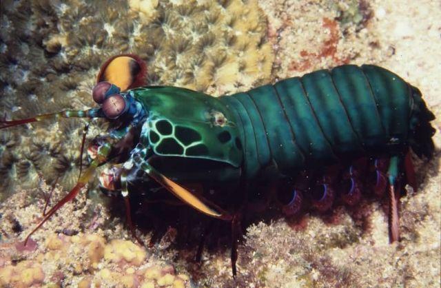 Mantis Shrimp Picture