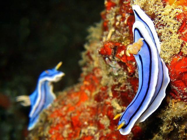 Nudibranch Picture
