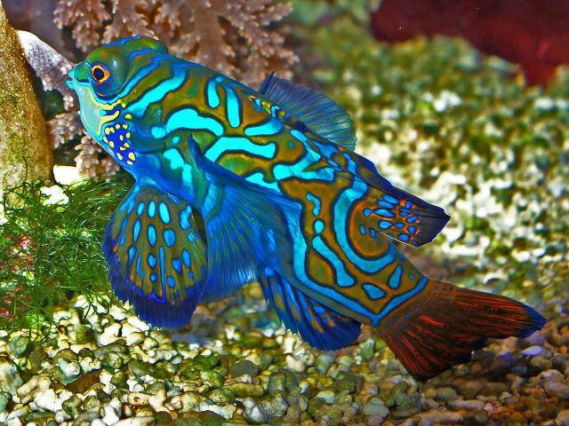 Mandarinfish Picture