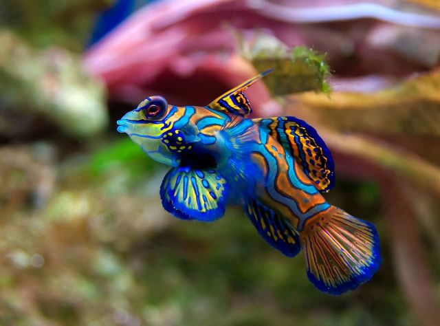 Mandarinfish Picture