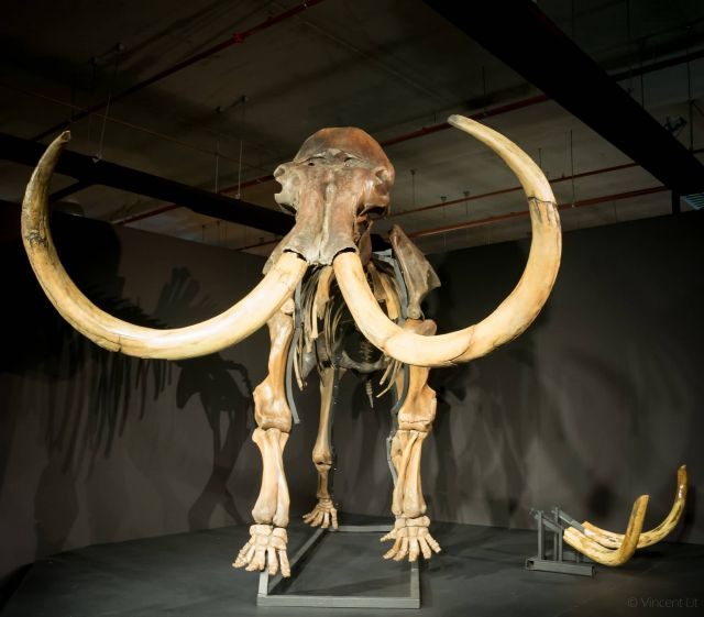 Mammoths Picture