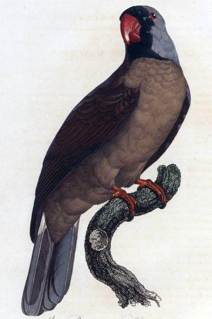 Mascarene Parrot Picture