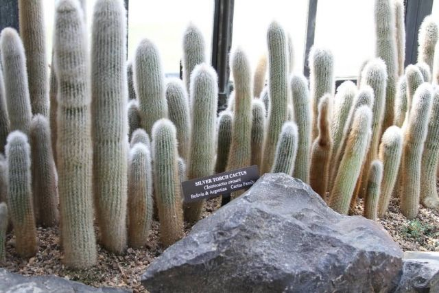 Silver Torch Cactus Picture