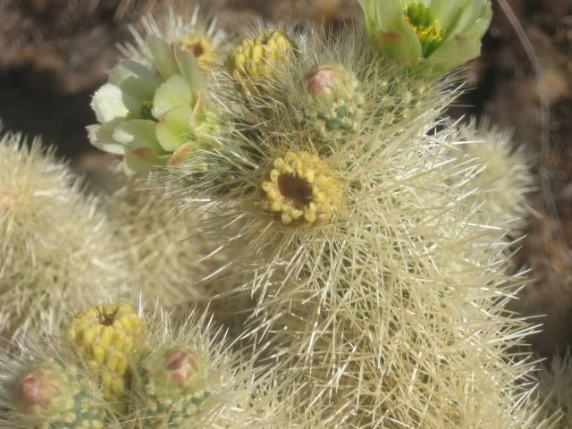 Jumping Cholla Picture