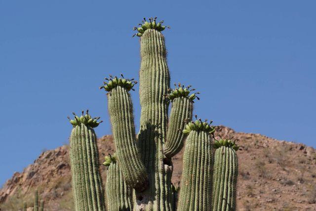 Saguaro Cactus Picture
