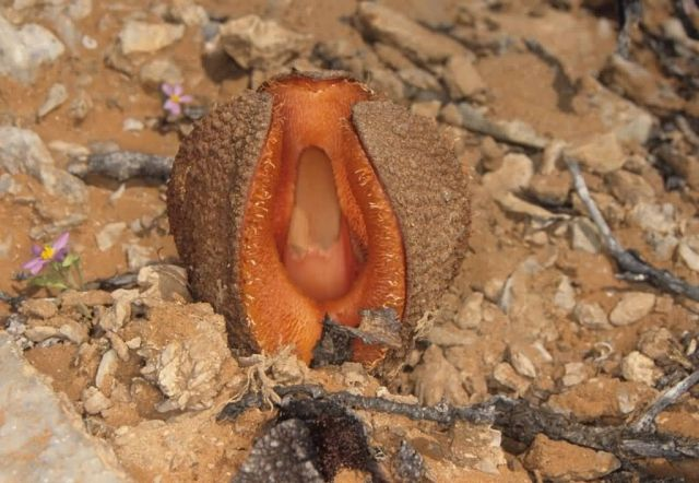Hydnora Africana Picture