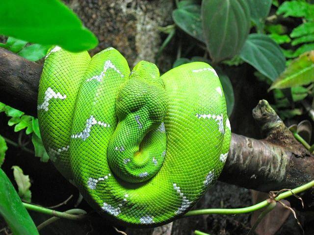 Emerald Tree Boa Picture