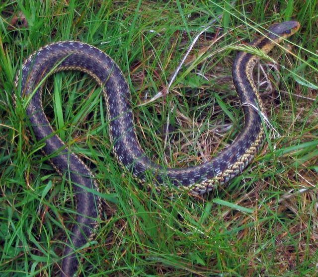 Garter Snake Picture