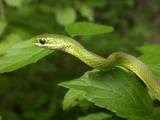 Rough Green Snake Picture