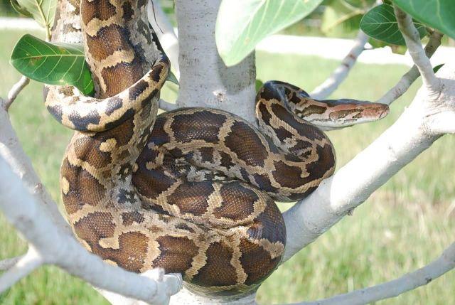 Python (Python Molurus) Picture