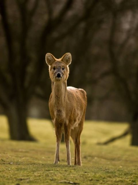 Water Deer Picture