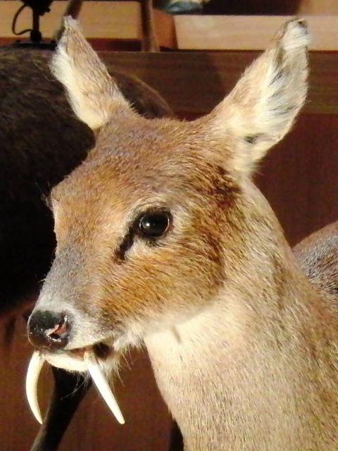 Water Deer Picture