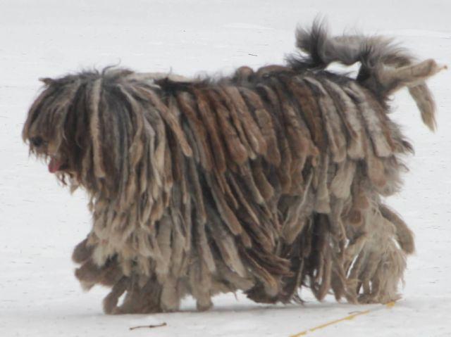 Bergamasco Shepherd Picture