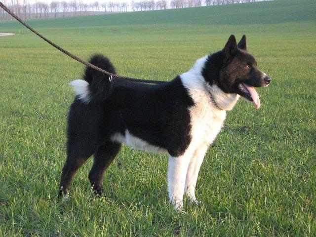 Karelian Bear Dog Picture
