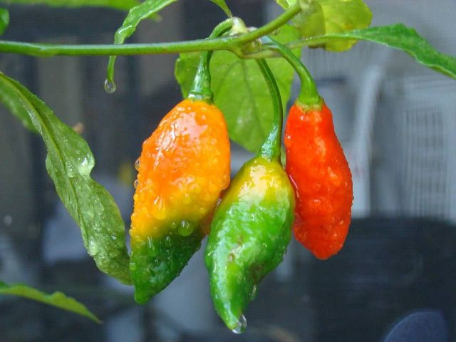 Bhut Jolokia, India Picture
