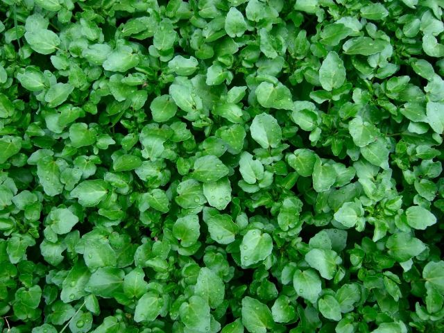 Watercress Picture