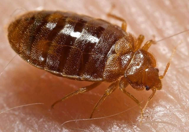Bed Bugs Picture