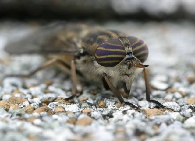 Horse-fly Picture