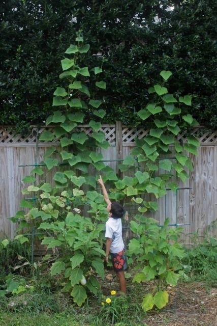Cucumbers Picture