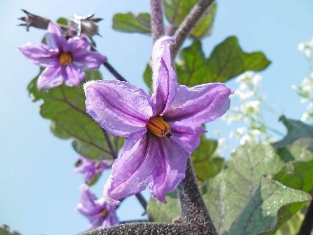 Eggplants Picture
