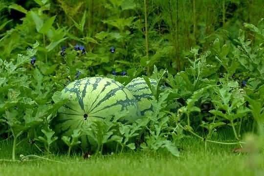 Watermelon Picture