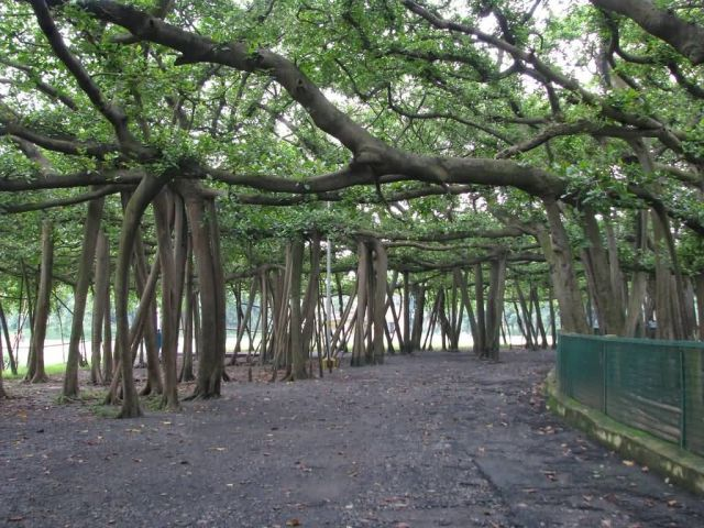 The Great Banyan Picture