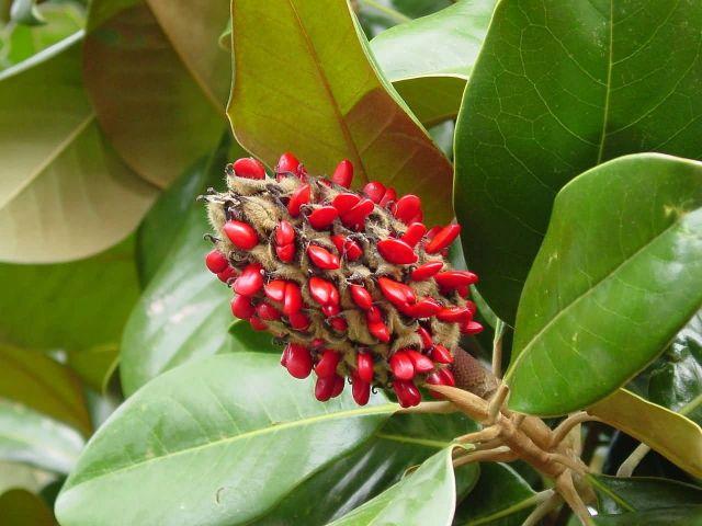 Magnolia Grandiflora Picture