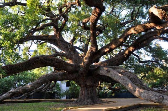 Treaty Oak Picture